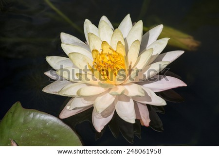 Blossom white lotus flower, Thailand - stock photo