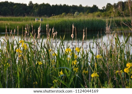 Blossom yellow iris flowers in a wetland