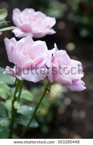 Blossomed pink roses with mildew and selective focus