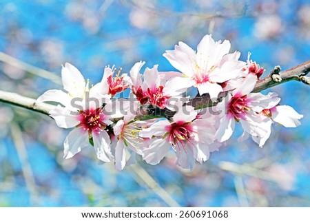 Blossoming almond flowers in spring - stock photo