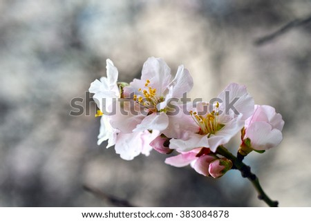 Blossoming almond flowers in springtime after rain. Almond flowers