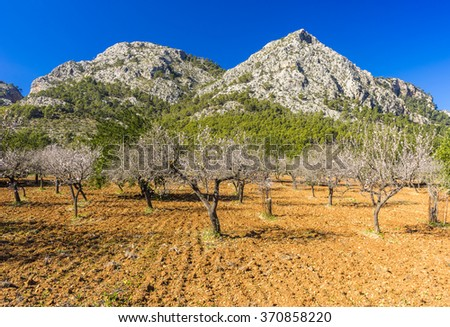 blossoming almond tree landscape in majorca, Spain - stock photo