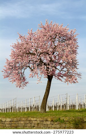 Blossoming Almond Tree (Prunus dulcis)