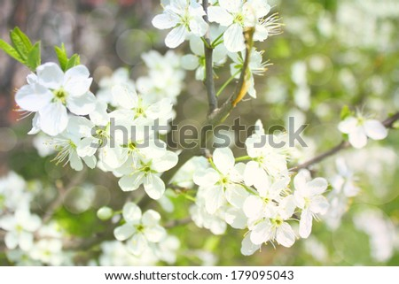 blossoming apple branches, with blur and soft-focus, background and texture