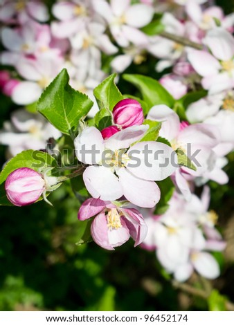 Blossoming apple garden in spring - stock photo