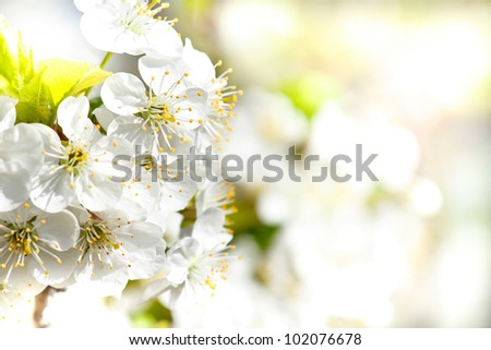 Blossoming apple garden in spring with very shallow focus background or backdrop use