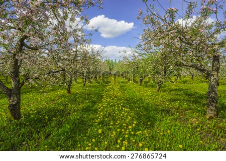 Blossoming apple orchard - stock photo