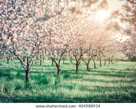 Blossoming apple orchard in spring. Picturesque and gorgeous scene. Ukraine, Europe. Beauty world. Cross processed retro and vintage style. Instagram toning effect. Glowing soft filter.  - stock photo