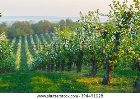 Blossoming apple orchard in spring. Retro filtered. Poland, Europe. Beauty world.