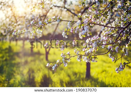 Blossoming apple orchard in spring. Ukraine, Europe. Beauty world. - stock photo