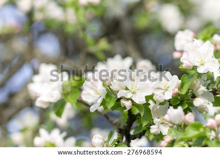 Blossoming apple tree background. White flowers of blooming garden - stock photo