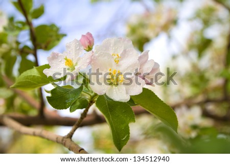 blossoming apple tree branch - stock photo