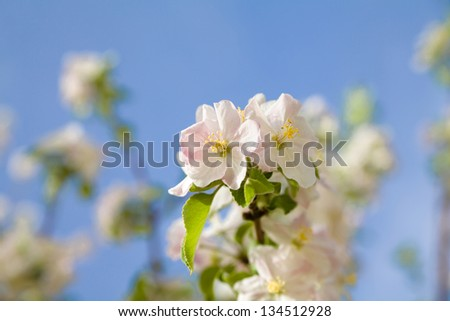 blossoming apple tree branch on blue sky background - stock photo
