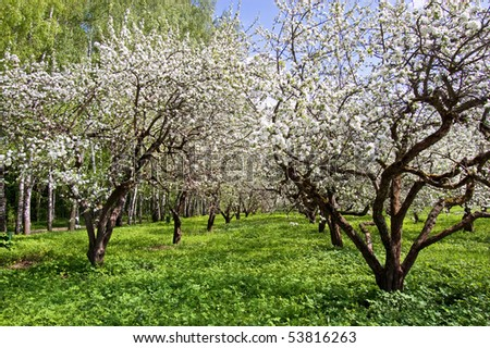 Blossoming apple-tree in garden