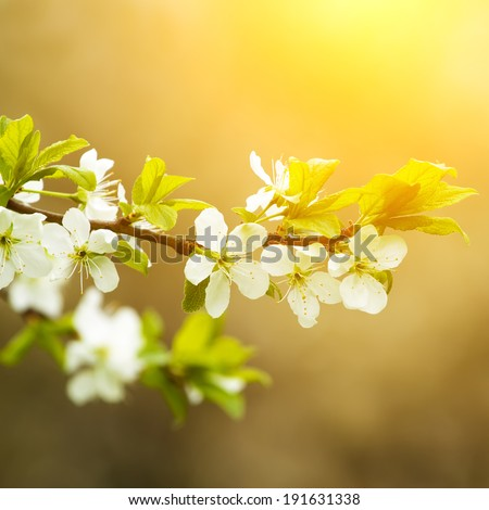 Blossoming apple tree. Sunny floral background