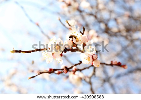 Blossoming apricot tree - stock photo