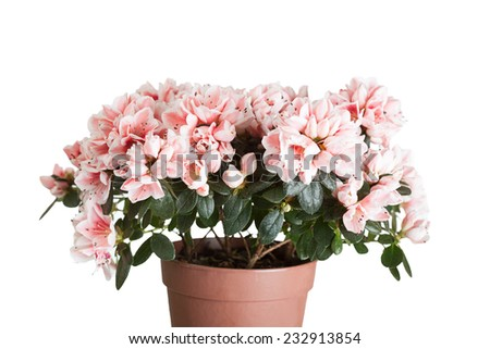 Blossoming azalea of a grade of Mevrouw Gerard Kint in a flowerpot on a white background - stock photo