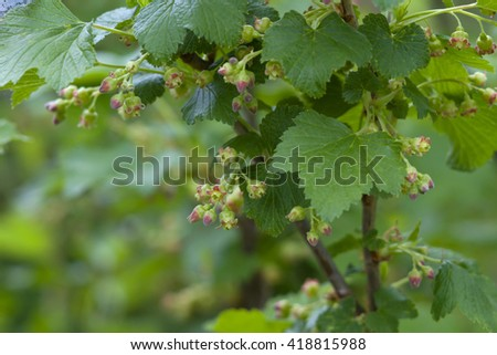 Blossoming black currant closeup