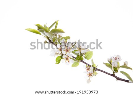 Blossoming branch forest pears isolated on a white background