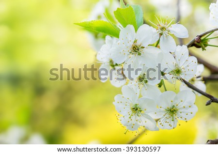 Blossoming branch of a cherry, close up. Note: Shallow depth of field