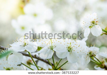 Blossoming branch of a cherry. Note: Shallow depth of field