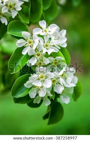 Blossoming branch of a pear tree on a bright sunny spring day.
