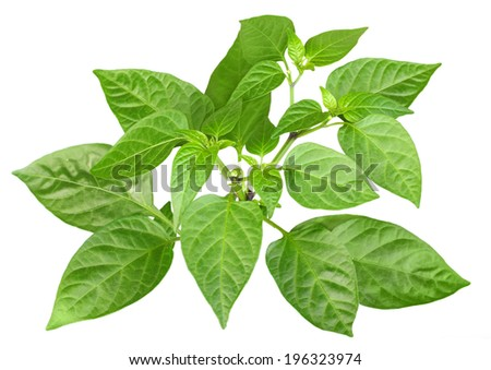 Blossoming  branch of pepper with green leaf. Isolated on white background. Close-up. Studio photography.