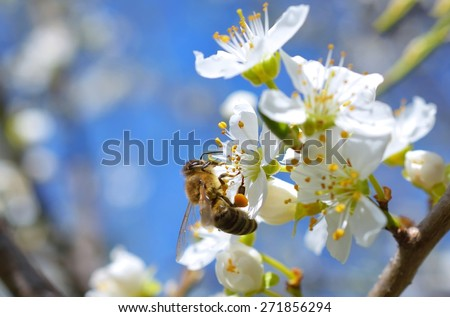 Blossoming branch with flower of cherry tree and a honey bee - stock photo