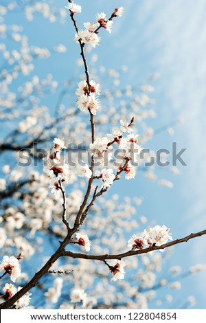 Blossoming branches of a tree. White flowers on a background of the blue sky - stock photo