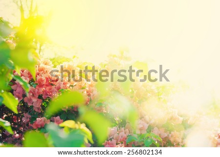 Blossoming Bush with Pink Flowers in Sunlights. Nature background. Spring - stock photo