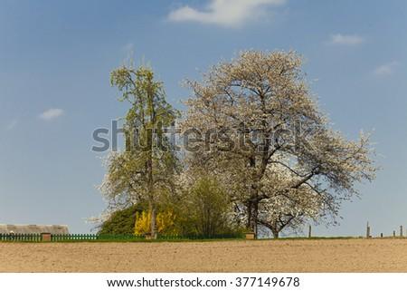 Blossoming cherry tree in spring, North Rhine-Westphalia, Germany - stock photo