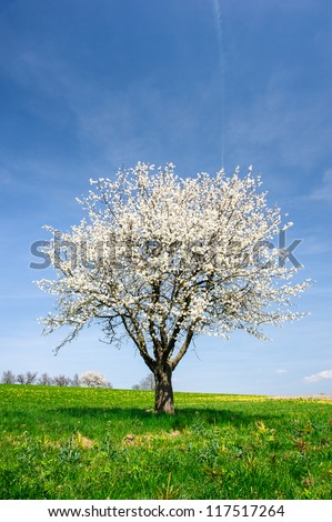 Blossoming cherry tree on green meadow in spring - stock photo