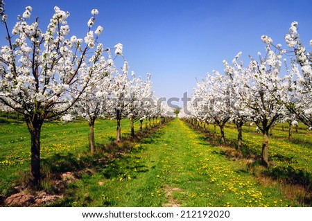 Blossoming cherry-trees