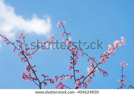 Blossoming cherry trees framing the nice blue sky - stock photo