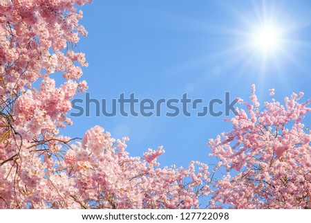 Blossoming cherry trees framing the nice blue sky with the sun - stock photo
