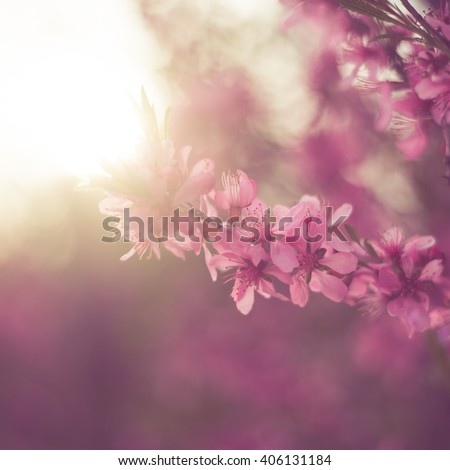 Blossoming cherry trees in spring,Spring Background - stock photo