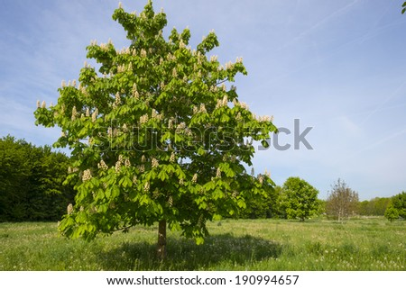 Blossoming chestnut in a meadow