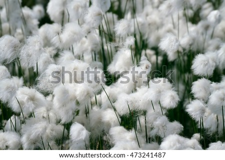 Blossoming cotton-grass