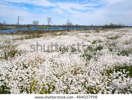 Blossoming cotton-grass in marshland