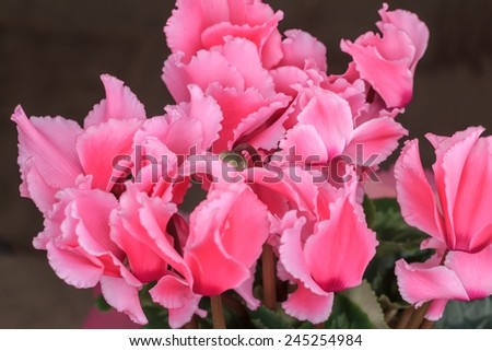Blossoming cultivated plant pink cyclamen close-up view - stock photo