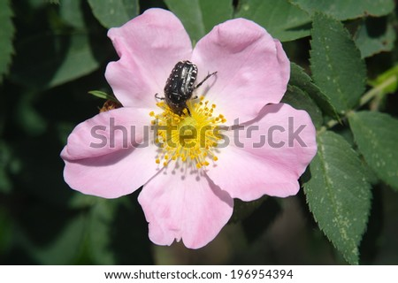 Blossoming dog rose in the summer - stock photo