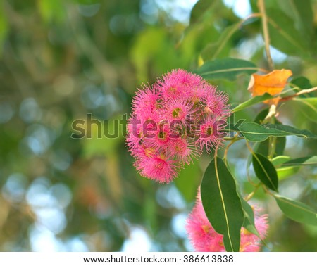 Blossoming eucalyptus tree branch - stock photo