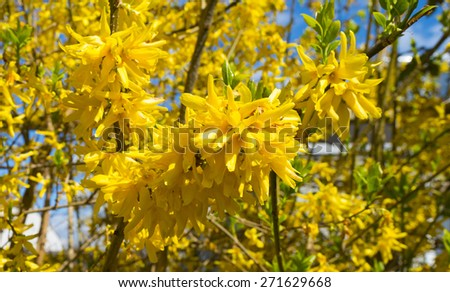 Blossoming forsythia in spring under a blue sky - stock photo