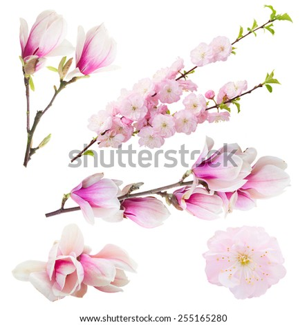 Blossoming fresh tree flowers against white background