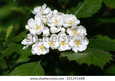 Blossoming hawthorn closeup