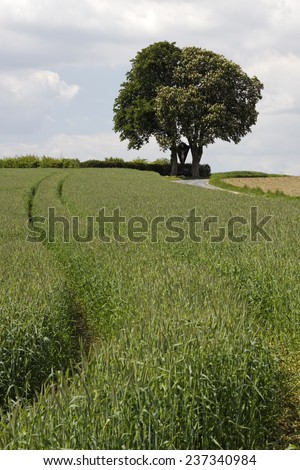 Blossoming horse chestnut, (Aesculus hippocastanum) with field in May, Bad Iburg, Osnabrueck country, Lower Saxony, Germany, Europe - stock photo