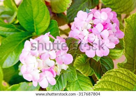 Blossoming hydrangea close up - stock photo