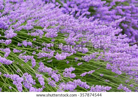 blossoming lavender close up, Provence - stock photo