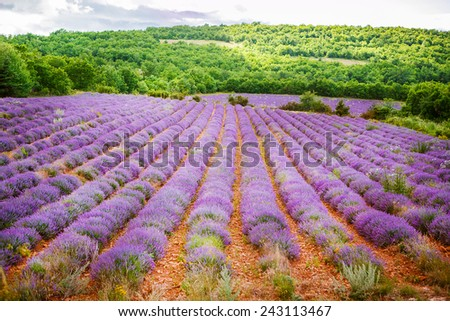 Blossoming lavender fields in Provence, France. On summer sunny day. popular area for touristes