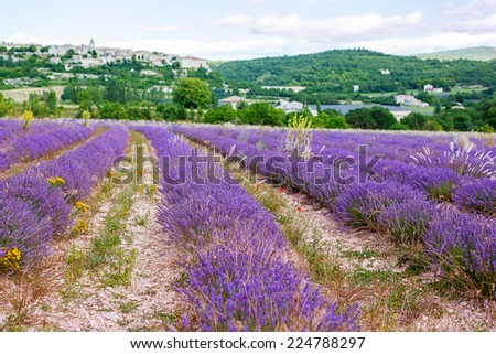 Blossoming lavender fields in Provence, France. On summer sunny day. View on typical landscape.